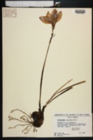 Image of Zephyranthes grandiflora