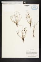 Image of Scirpus erismaniae