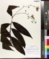 Image of Dichorisandra penduliflora