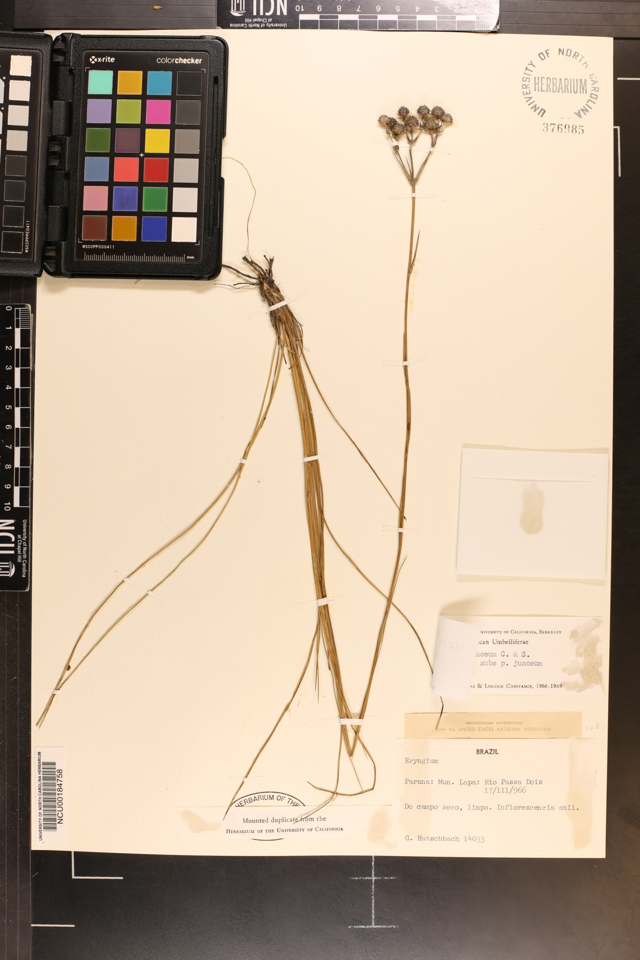 Eryngium junceum image