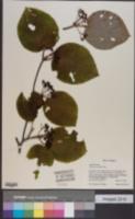 Image of Viburnum furcatum
