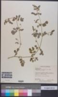 Image of Kallstroemia pubescens