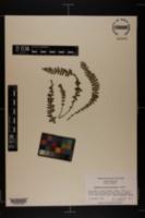 Asplenium heteroresiliens image