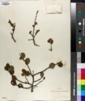 Image of Prunus gravesii