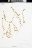 Aphanisma blitoides image