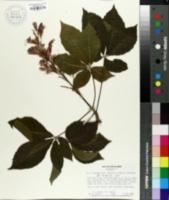 Image of Aesculus x carnea