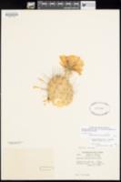 Opuntia polyacantha var. hystricina image