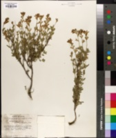 Salvia greggii image