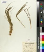 Image of Eragrostis polytricha