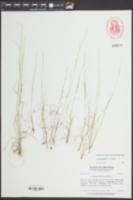 Aristida dichotoma image