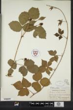 Rubus jaysmithii image
