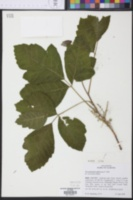 Image of Rhus pubescens