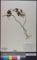 Lipochaeta lobata image