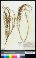 Lythrum linearifolium image