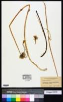 Allium sibiricum image