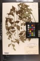 Pycnanthemum loomisii image