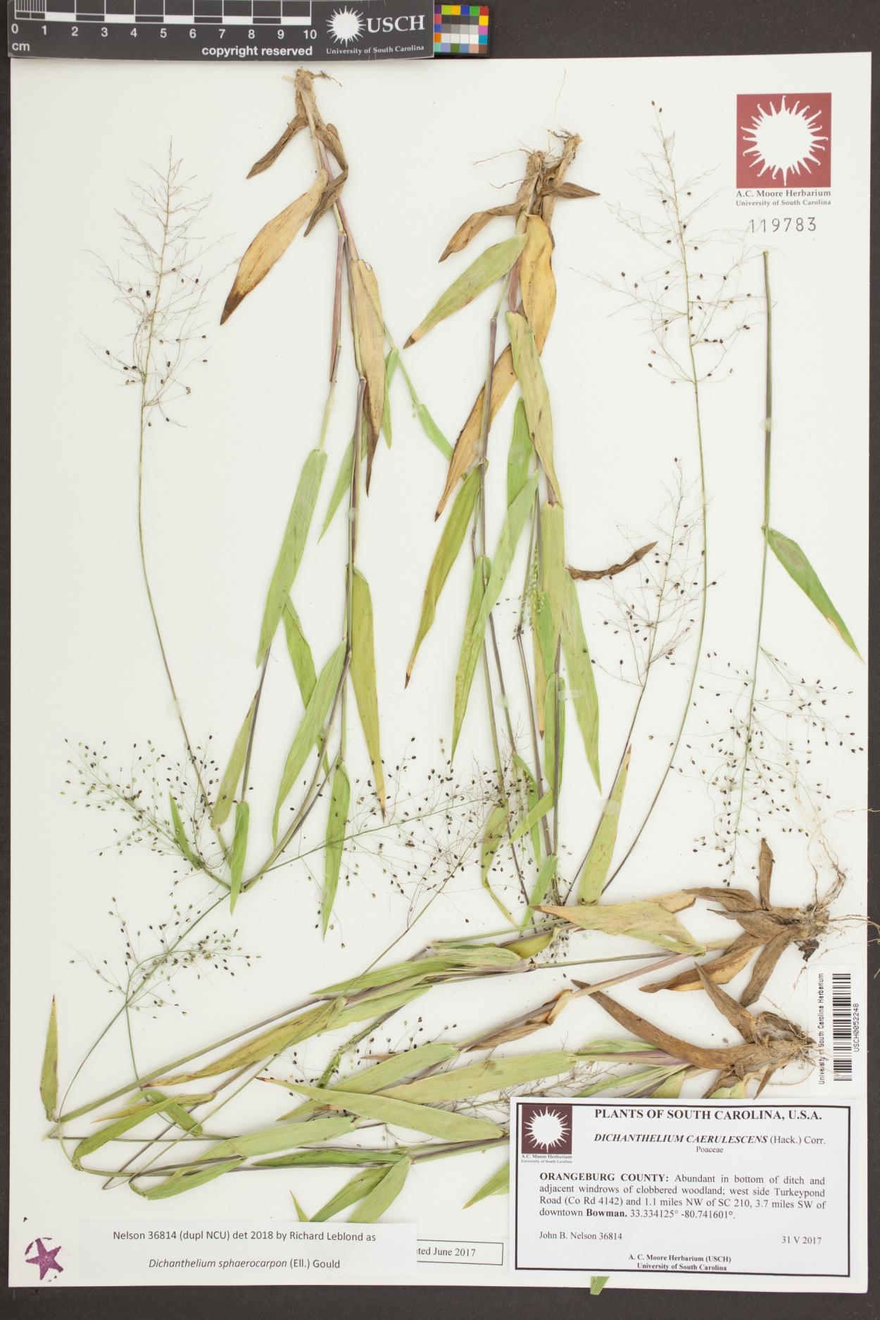 Dichanthelium caerulescens image