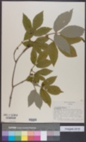Image of Acer maximowiczianum