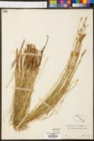 Carex exilis image