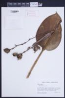 Canna indica image