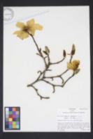 Magnolia kobus image