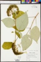 Hydrangea cinerea image