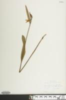 Image of Cleistesiopsis bifaria
