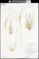 Muhlenbergia appressa image