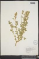 Image of Sphaeralcea tenuipes