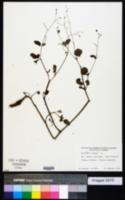 Boerhavia repens image