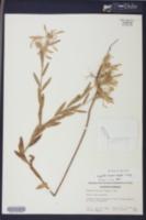 Euphorbia bicolor image