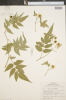 Image of Rubus illecebrosus
