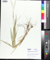 Image of Digitaria filiformis