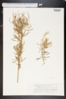 Image of Cneorum pulverulentum