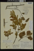 Image of Crataegus x canescens