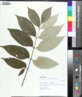 Image of Fraxinus biltmoreana