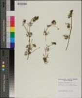 Image of Ranunculus circinnatus