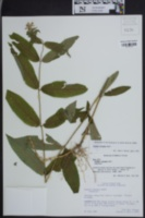 Image of Stachys latidens