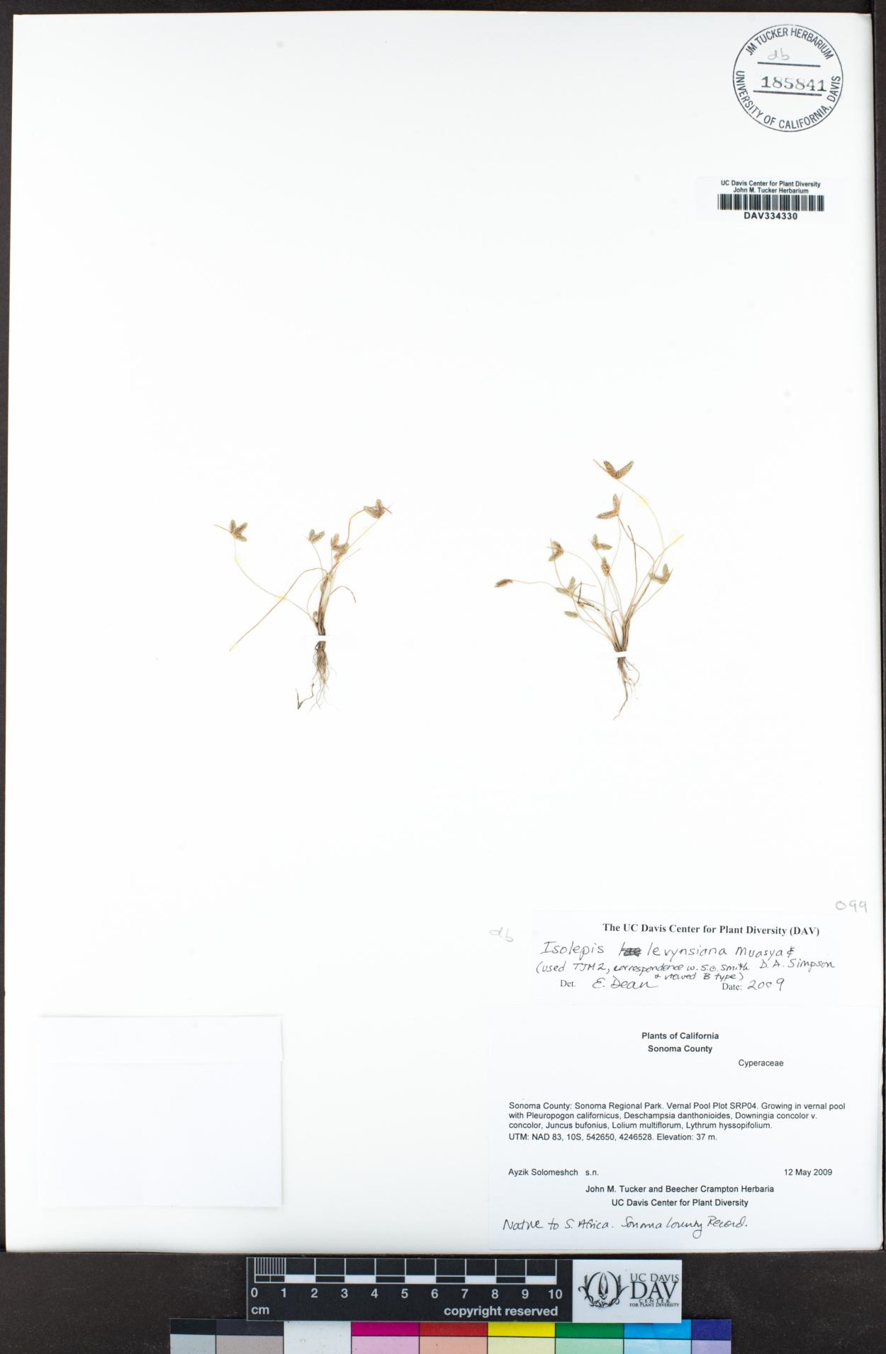Isolepis levynsiana image