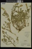 Corydalis crystallina image