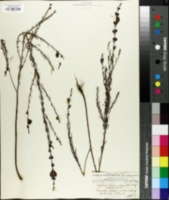 Image of Agalinis fasciculata