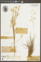 Image of Andropogon argenteus