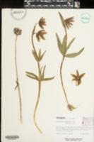 Image of Fritillaria lanceolata