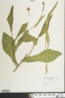 Emilia fosbergii image