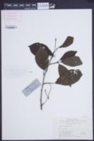 Image of Alnus cremastogyne
