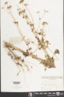 Image of Torilis scabra
