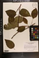 Schisandra glabra image