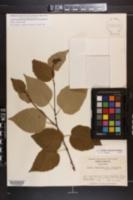 Image of Betula cordifolia