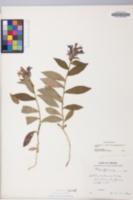 Lobelia siphilitica image