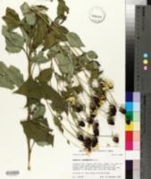 Rudbeckia subtomentosa image